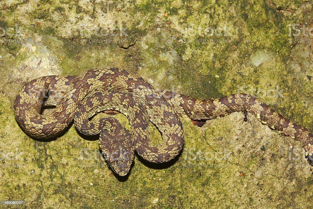 Tree Boa Constrictor snake, Corallus stock photo