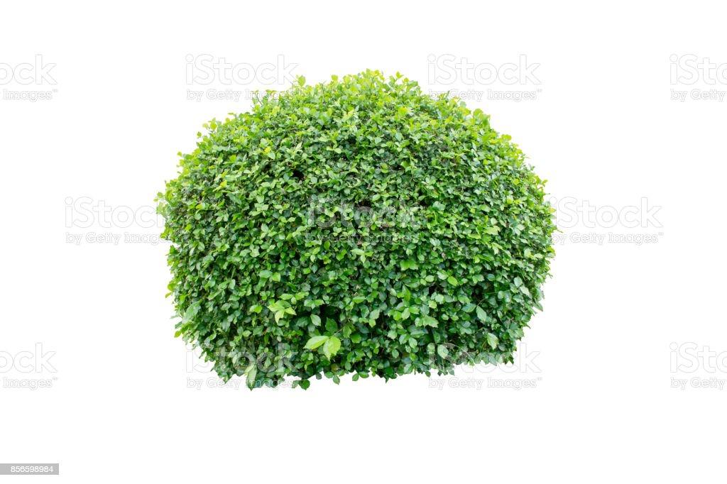 Ronce d'arbre ou un arbuste décoratif sur fond isolé pour la décoration de jardin ou de paysagisme maison - Photo