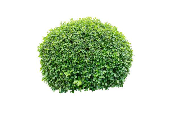 ronce d'arbre ou un arbuste décoratif sur fond isolé pour la décoration de jardin ou de paysagisme maison - buis photos et images de collection