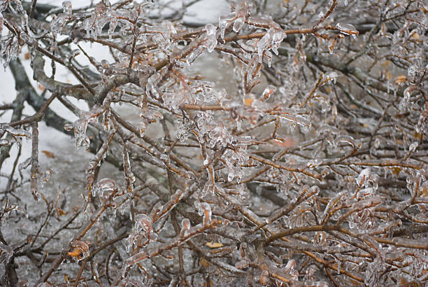 Tree Branch Berries Covered in Ice after Winter Storm