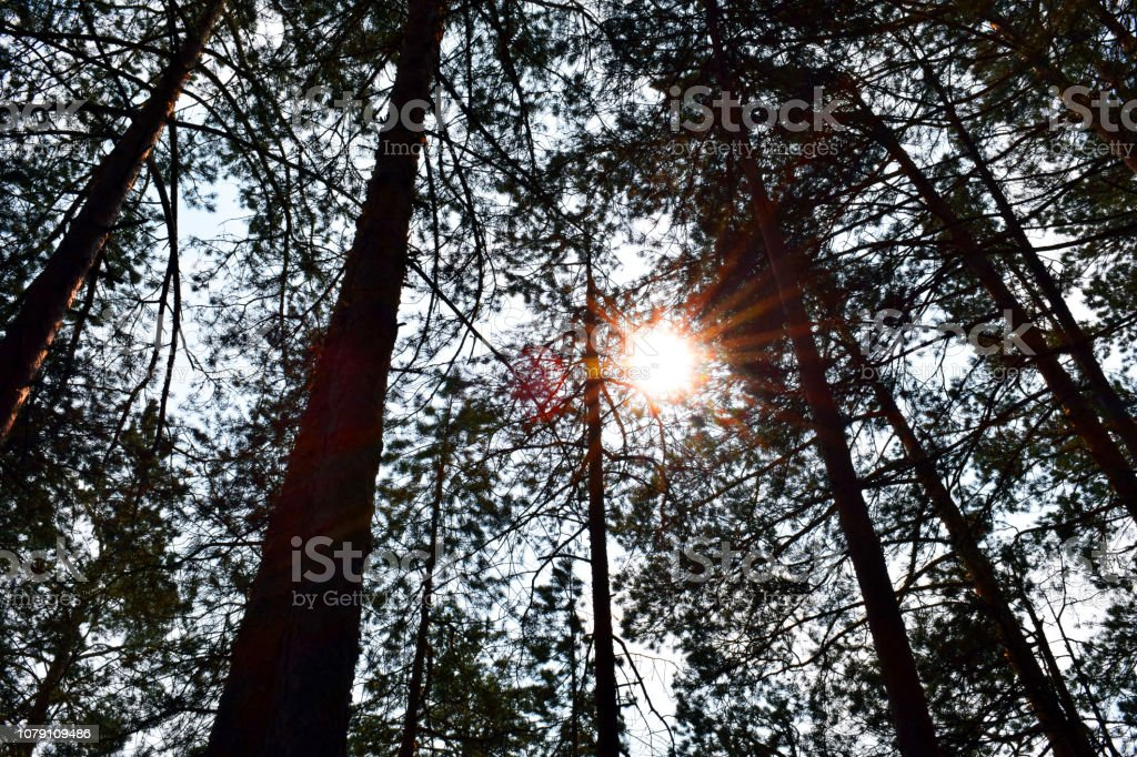 Tree branch close-up. Green spruce. Coniferous forest. Taiga. Cedar....
