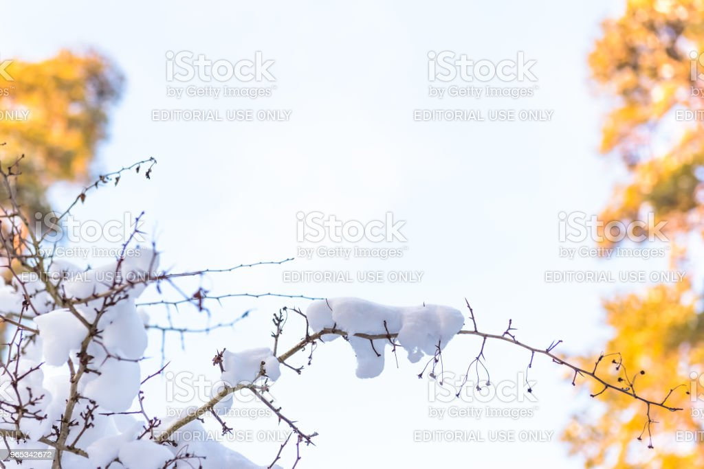 Tree branch covered with heavy snow royalty-free stock photo