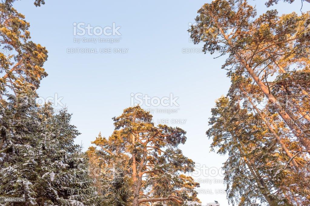 나무 가지 눈으로 덮여 - 로열티 프리 0명 스톡 사진