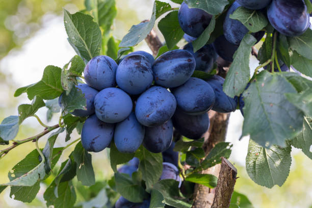 Tree Branch Full of Plums stock photo