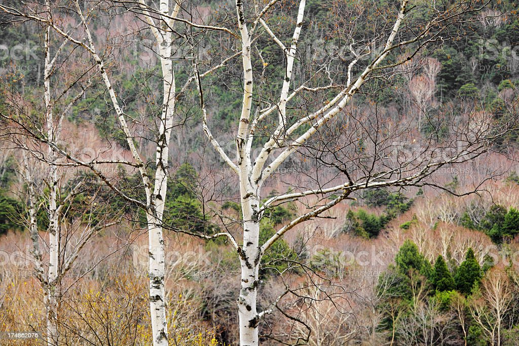tree branch in forest royalty-free stock photo