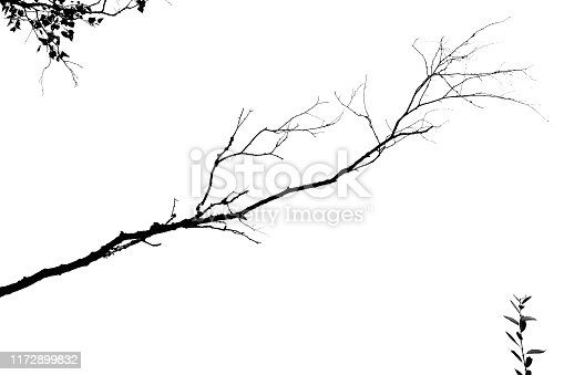 istock tree branch isolated on a white background. black and white image. 1172899832