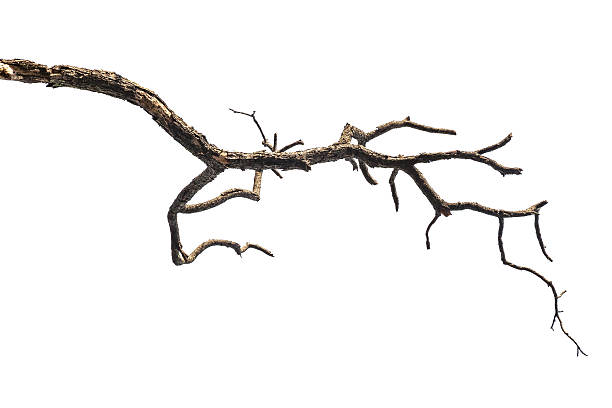 Tree branch isolated on white background stock photo