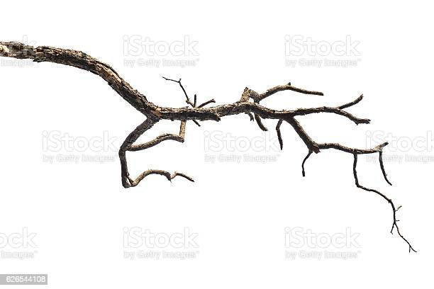 Photo of Tree branch isolated on white background