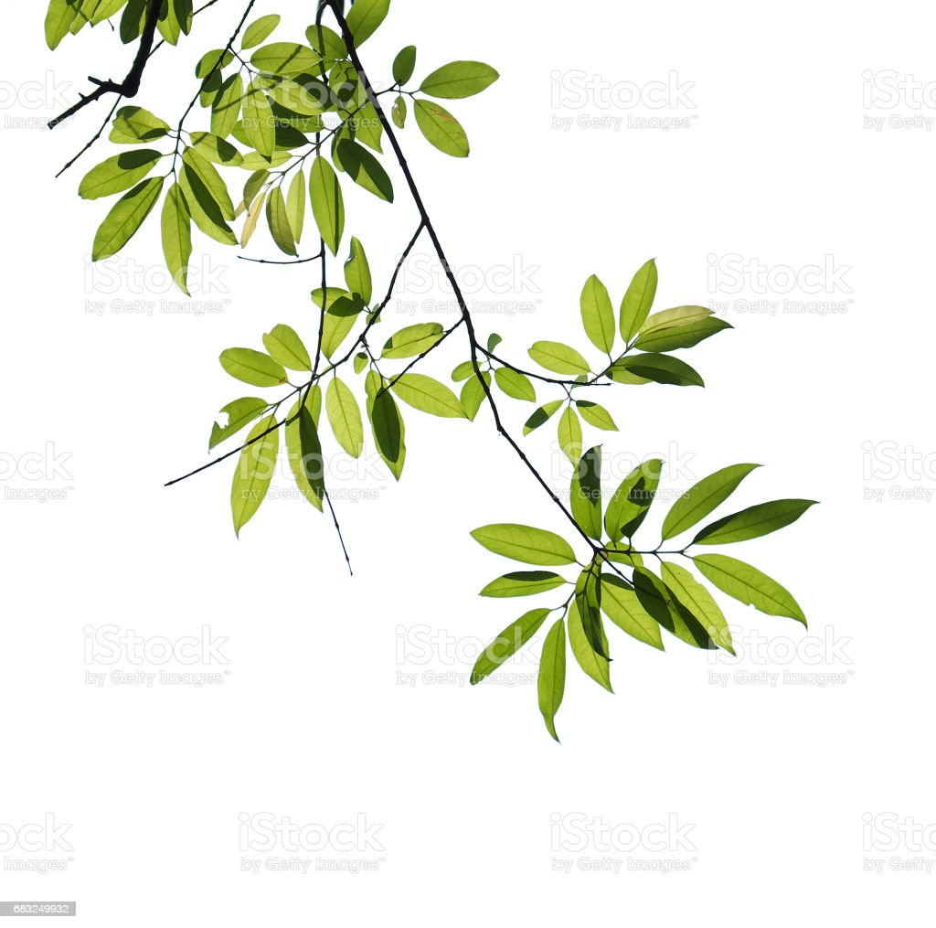tree branch isolated 免版稅 stock photo