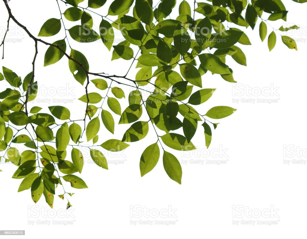 tree branch isolated royalty-free stock photo