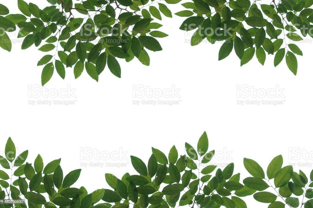 tree branch isolated 免版稅 stock photo