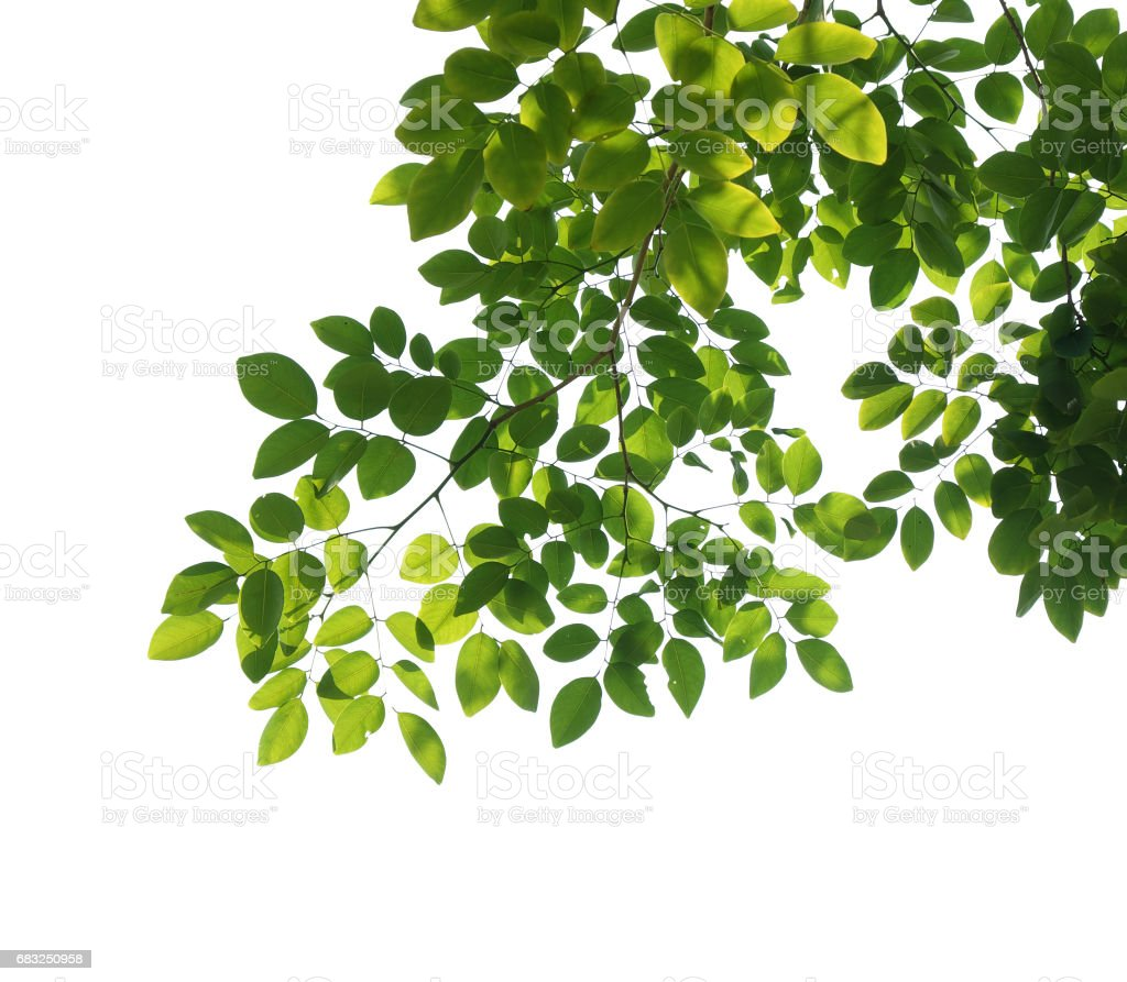 tree branch isolated foto de stock royalty-free