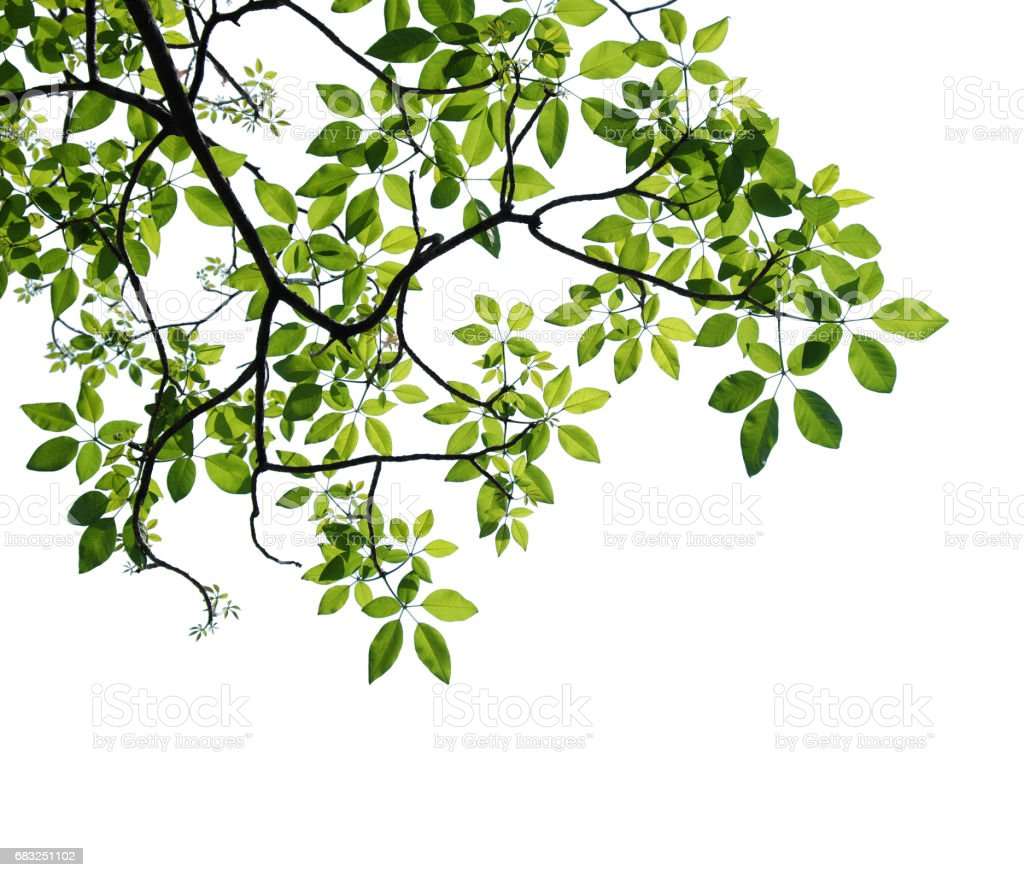 tree branch isolated royalty-free 스톡 사진