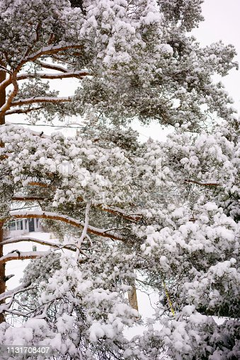 Tree branch straining under the weight of a lot of snow.