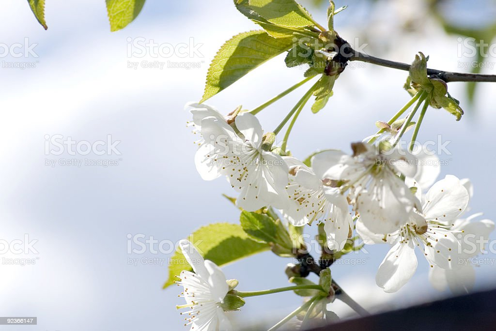 Tree branch with cherry flowers over green background. royalty-free stock photo