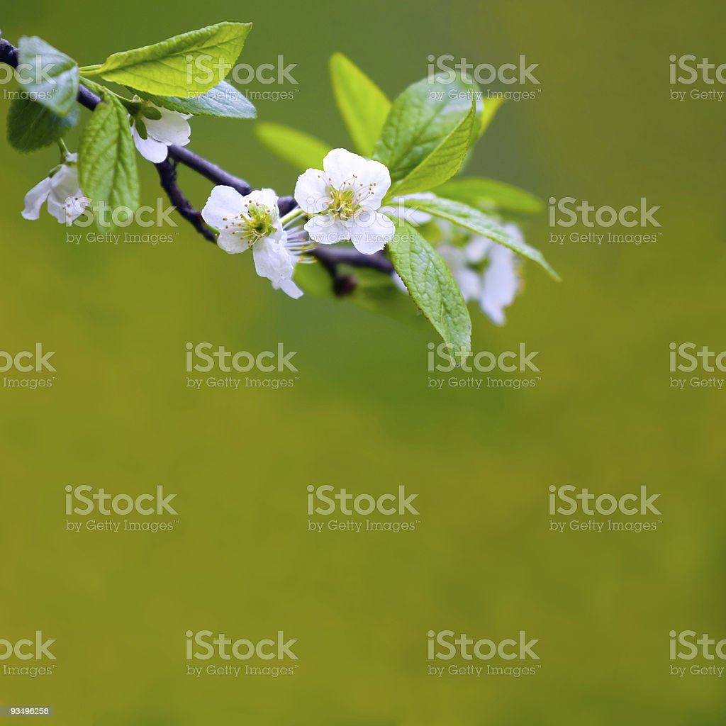 Tree branch with cherry flowers over green background stock photo