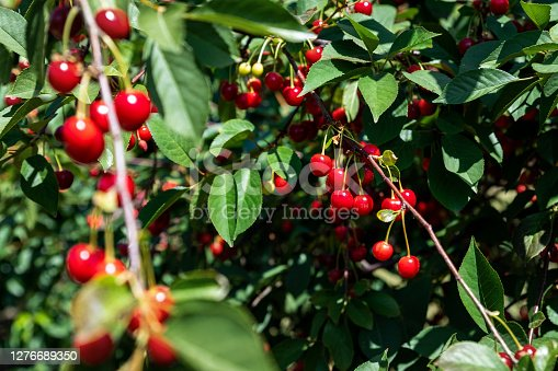 Tree branch with green leaves twig and many red ripe tasty juicy dessert cherry berries growing. Natural eco fruit garden background. Organic nutritious food background on bright sunny day.