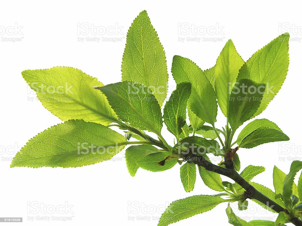 tree branch with lush foliage isolated royalty-free stock photo