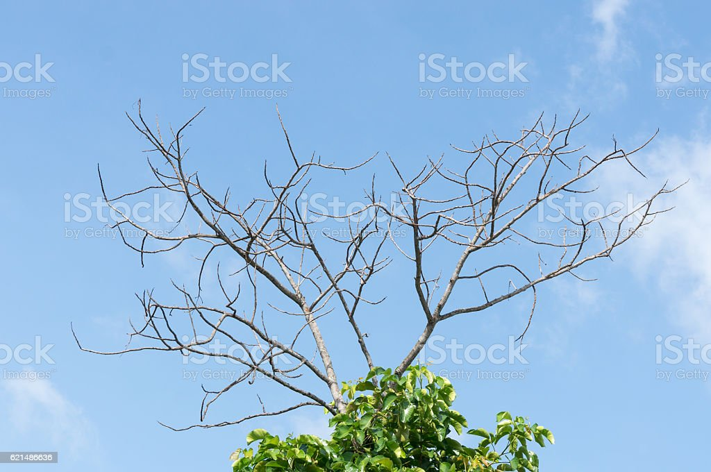 Tree branches and parasitic plants with blue sky background photo libre de droits
