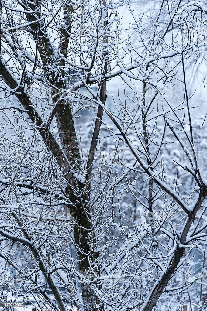 Tree branches covered by snow royalty-free stock photo