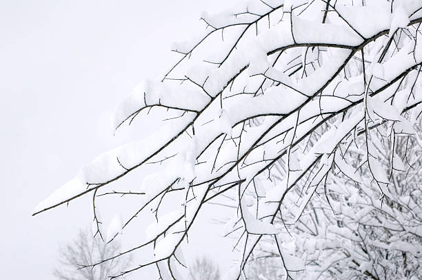 Tree Branches Covered in Snow stock photo