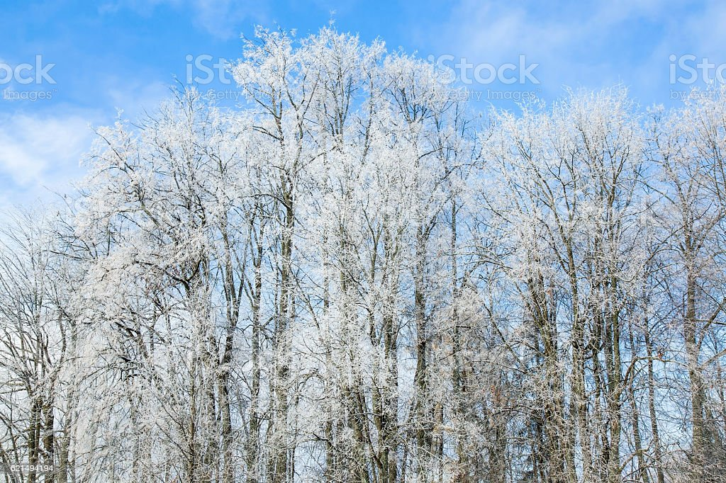 Tree branches covered with snow and look nice in winter. photo libre de droits