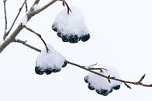Tree branches covered with snow aronia. Winter background closeup.