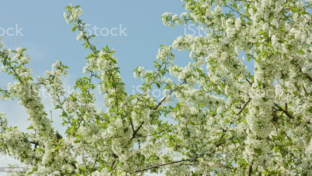 Tree Branches in Blossom stock photo