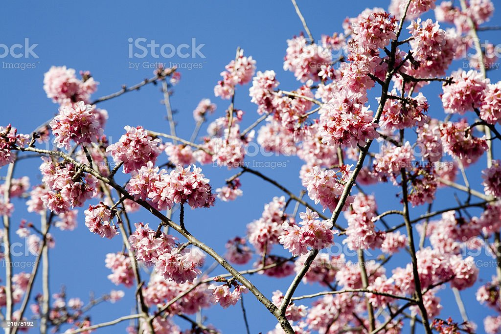 Tree branches in spring royalty-free stock photo