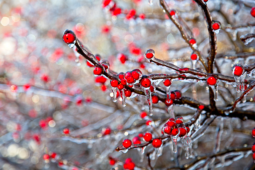 Tree branches with red berries coated in ice after storm