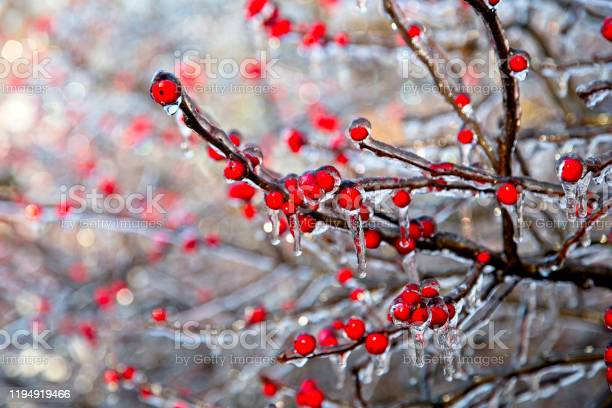 Photo of Tree branches with red berries coated in ice after storm