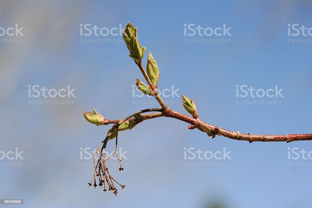 Tree buds in spring close up royalty-free stock photo