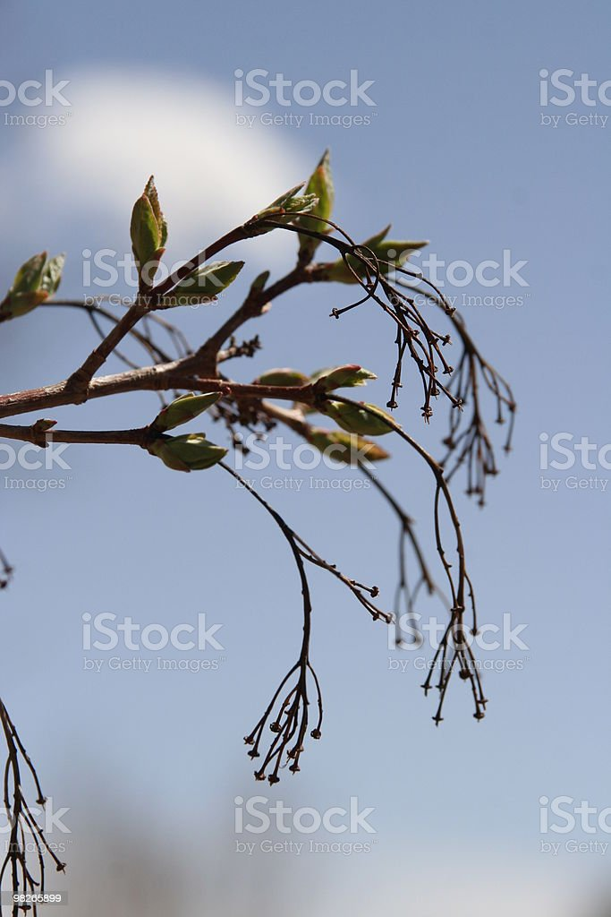 Tree buds in spring royalty-free stock photo