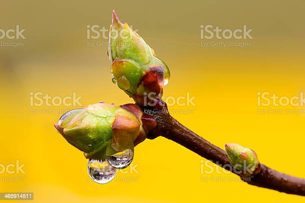Lilac tree buds wet from a spring shower against a bright yellow background.