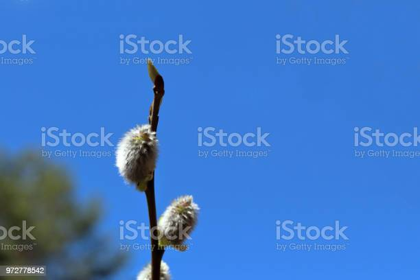 Tree buds on a clear sky background