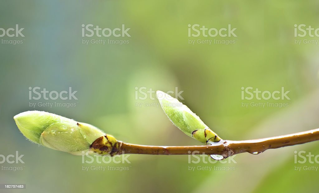 Tree buds royalty-free stock photo