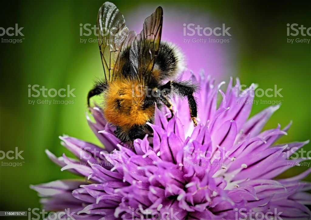 Tree bumble bee, in Doncaster, South Yorkshire, England - Foto stock royalty-free di Ala di animale