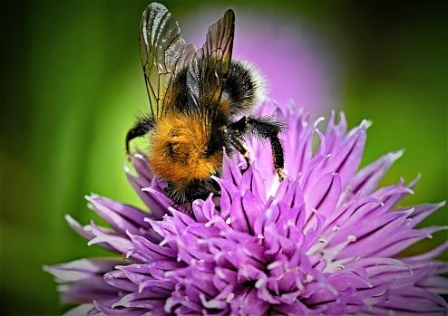Tree Bumble Bee In Doncaster South Yorkshire England - Fotografie stock e altre immagini di Ala di animale