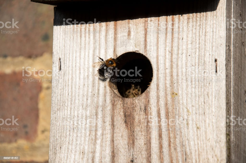 A Tree Bumblebee  (Bumpus hypnorum) foto de stock royalty-free