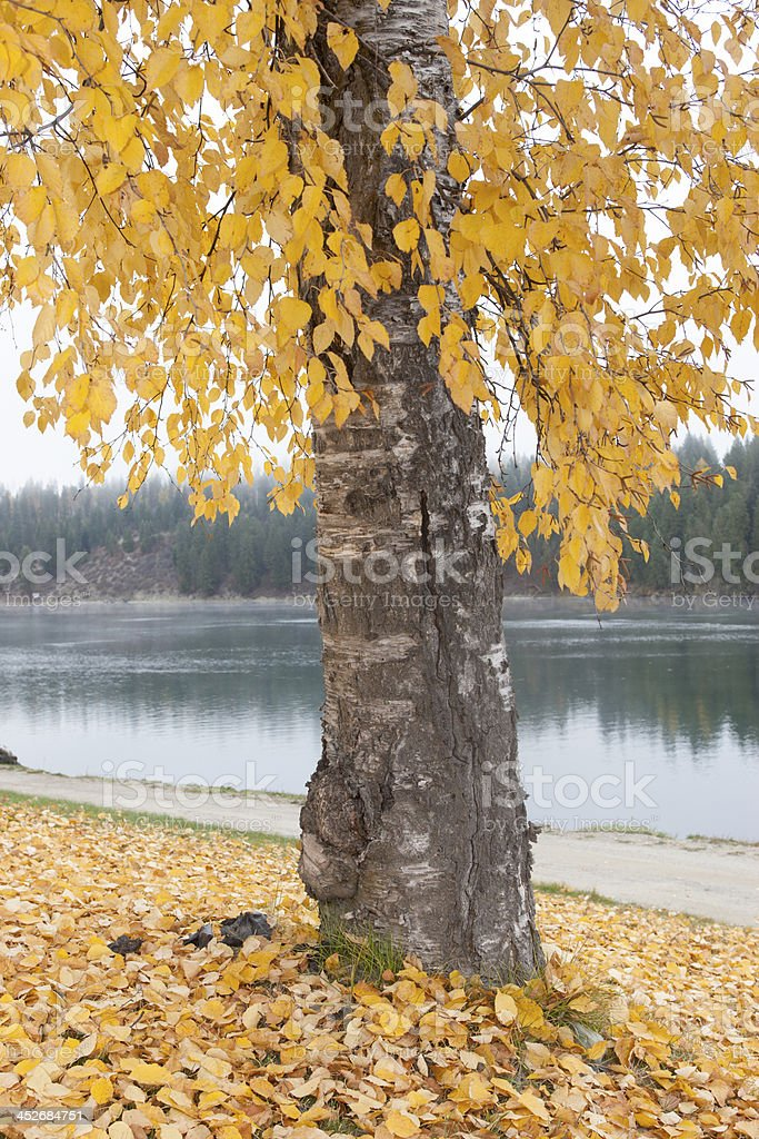 Tree by a river. stock photo