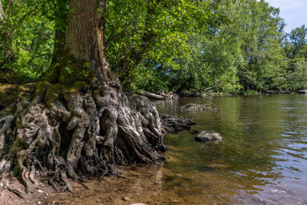 Tree by the water with strange roots stock photo