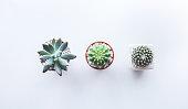 Tree cactus on white