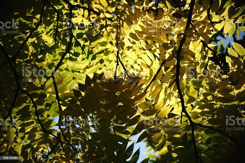 Tree Canopy Black Walnut stock photo