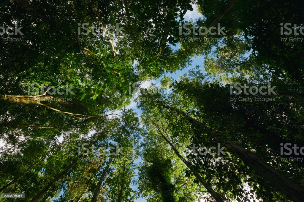 tree canopy: looking at the forest from below stock photo