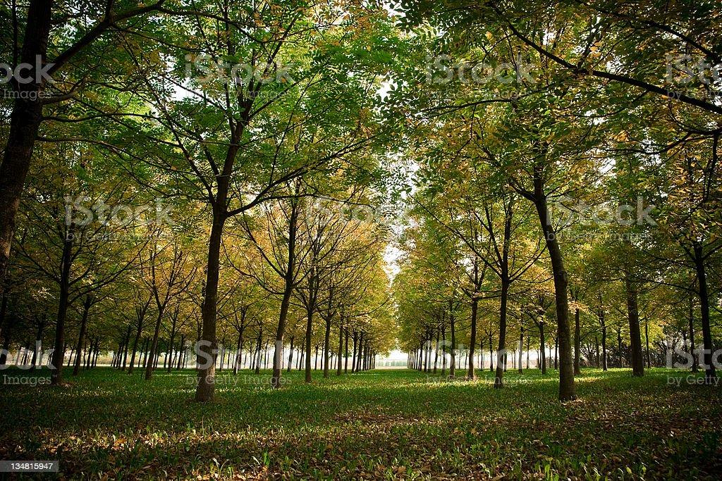 Tree canopy royalty-free stock photo