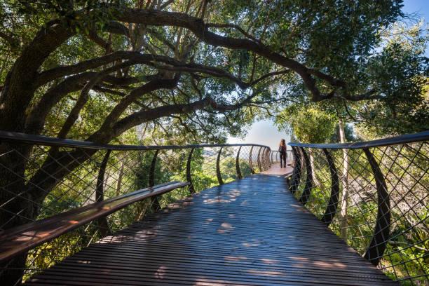 tree canopy walkway in kirstenbosch botanical garden, cape town - baumwipfelpfad stock-fotos und bilder
