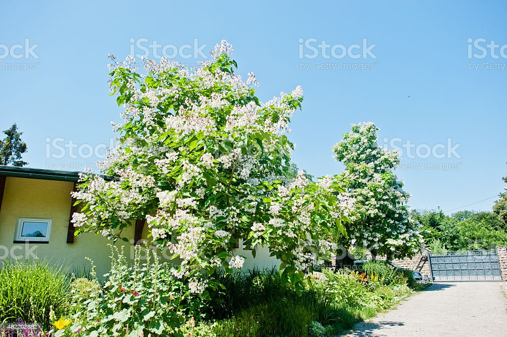 tree catalpa with blossom on blue sky at sunny day stock photo