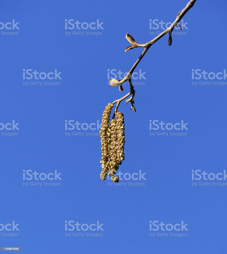 Tree Catkins and Blue Sky stock photo