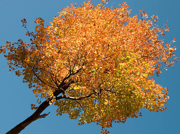 Tree Changing Colors in the Fall stock photo