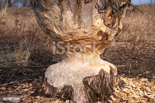 Tree chewed by beavers